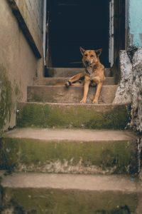 traplopen honden