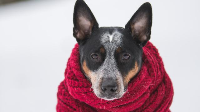 hond-met-sjaal